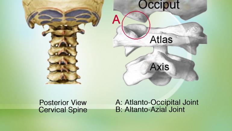 Atlanto-Occipital مفصل آتلانتو- اکسیپیتال